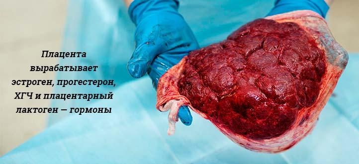 Плацента человека   анатомия плаценты, строение, функции, картинки на eurolab