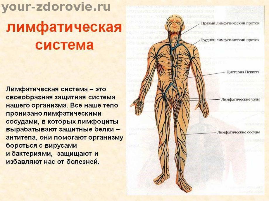Что такое вены и как они работают, виды вен человека, заболевания вен - «институт вен»  лечение варикоза в  киеве и харькове