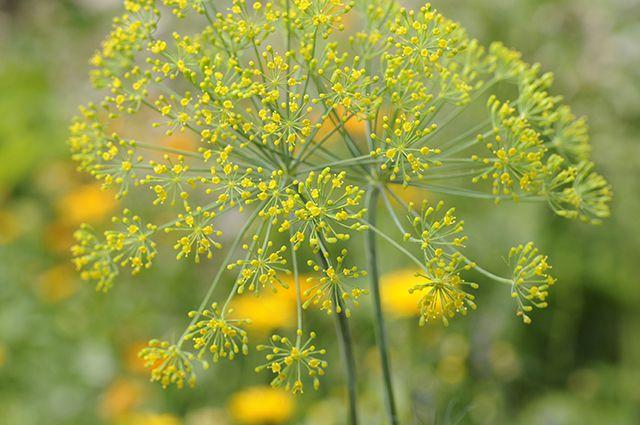 Чем полезен укроп лечение укропом    травник