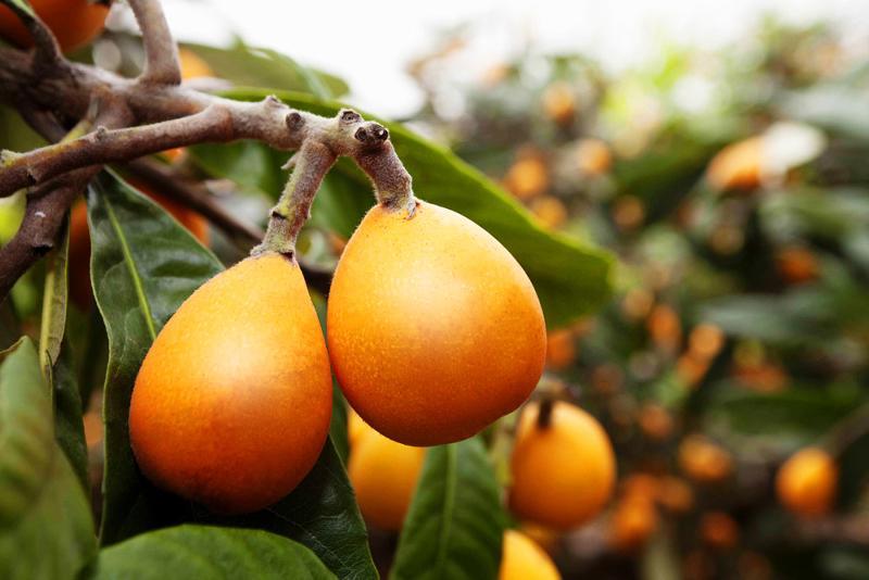 Мушмула домашняя: как из косточки на подоконнике вырастить любимый фрукт японцев (45 фото & видео) +отзывы