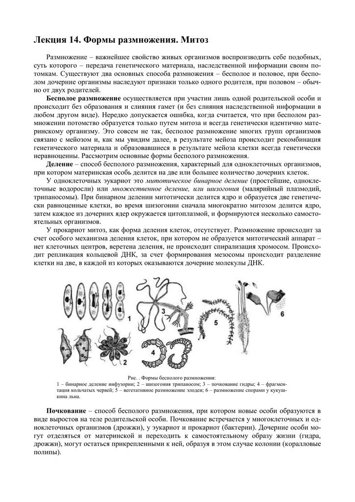 Почкование. что такое почкование: суть процесса, значение и примеры почкование клетки