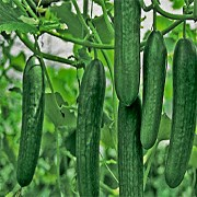 Партенокарпические огурцы: что такое, описание, сорта, выращивание и уход, фото