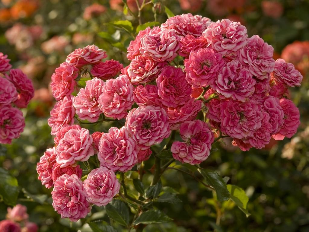 Полиантовая роза: что это такое, выращивание и уход