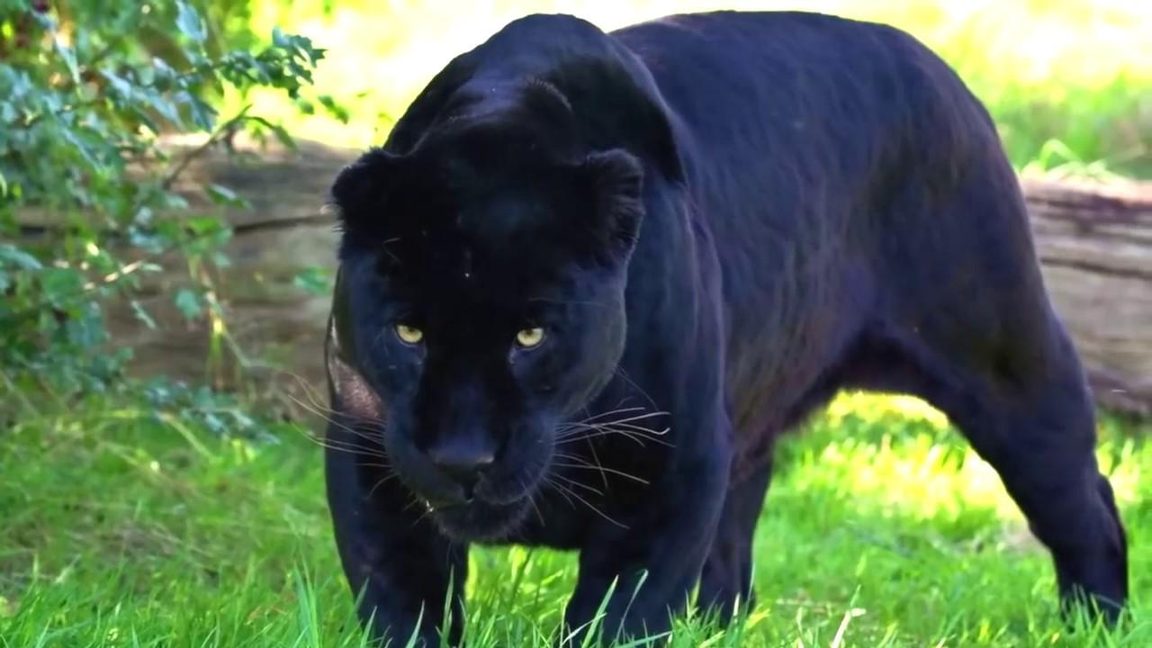 Пантеры – описание, где живут, питание, размножение, враги, фото и видео