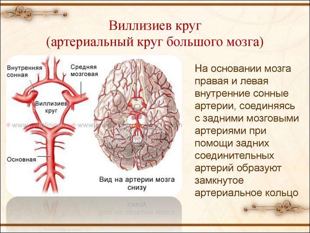 Виллизиев круг - развитие, лечение, симптомы - могбуз поликлиника № 2