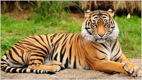 Тигр - 103 фото мощного, роскошного и красивого полосатого хищника