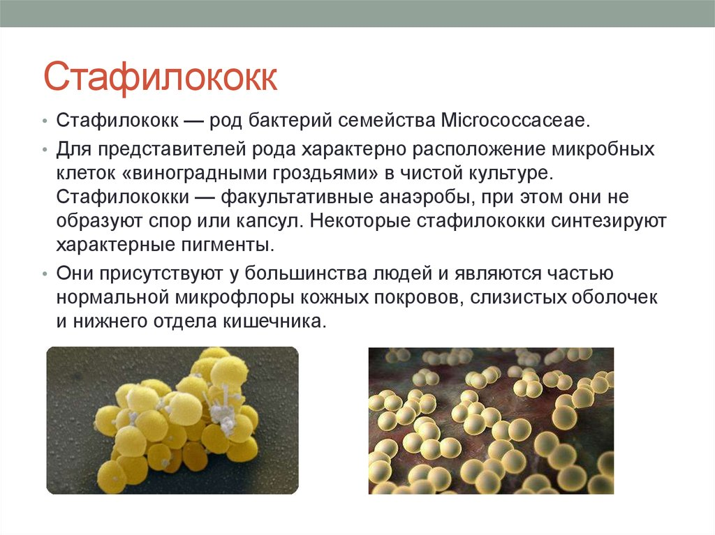 Staphylococcus aureus что это такое