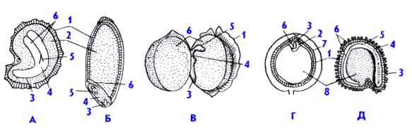 Эндосперм - endosperm - qwe.wiki