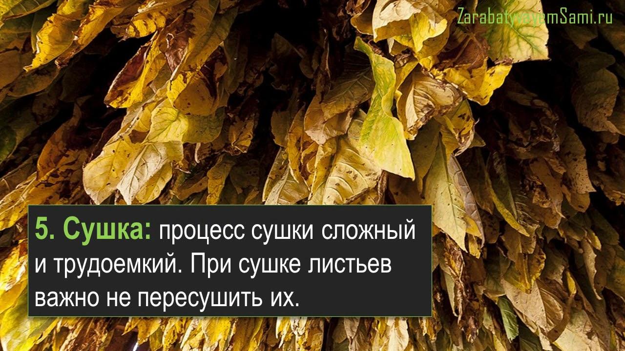 Как выглядит растение табак: фото, описание плодов и листьев, всё о курительном табаке, другие сферы его применения