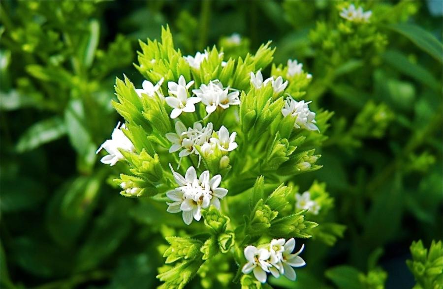 Сахарозаменитель стевия: роль медовой травы в медицине и кулинарии