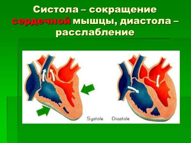 Сердечный цикл - фазы (таблица). систола и диастола что это такое