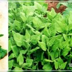 Чем заменить шпинат: что это такая за культура и можно ли найти аналог для питания в повседневной жизни и на диете?