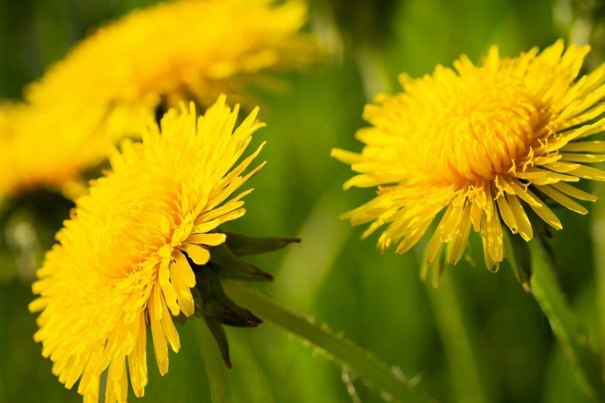 Одуванчик лекарственный описание свойства растения