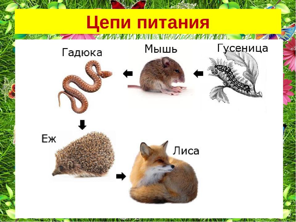 Пищевая цепочка в природе — схемы, звенья и примеры цепей