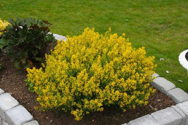Дрок красильный: фото, полезные свойства и противопоказания травы. выращивание и размножение дрока красильного
