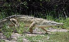 Крокодил - лучшие 116 фото самых зубастых пресмыкающихся