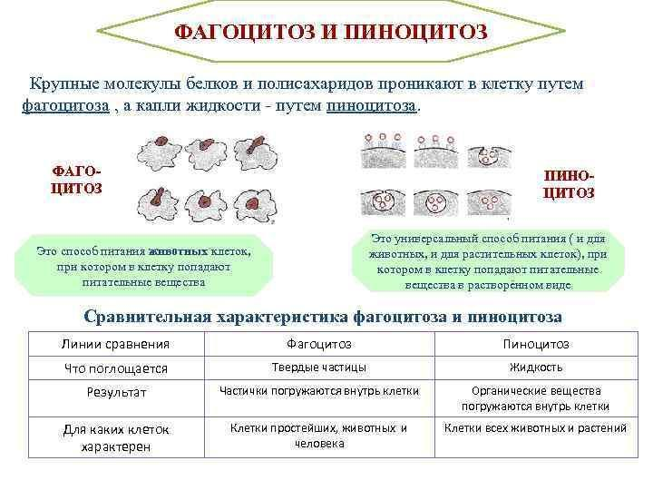 Фагоцитоз: стадии и пути фагоцитоза. макро- и микрофагоциты