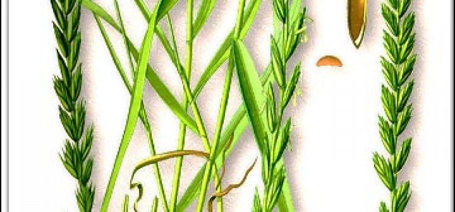 Пырей ползучий — лечебные свойства и противопоказания, польза и вред