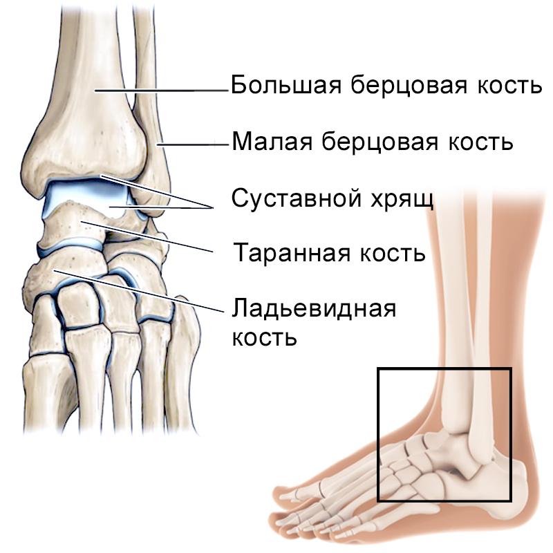 Лодыжка или щиколотка: где находится, как выглядит, назначение, анатомия, виды, связки, особенности, травмы | pro-md.ru
