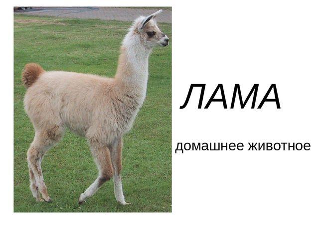 Лама – фото, описание, ареал, рацион, враги, популяция