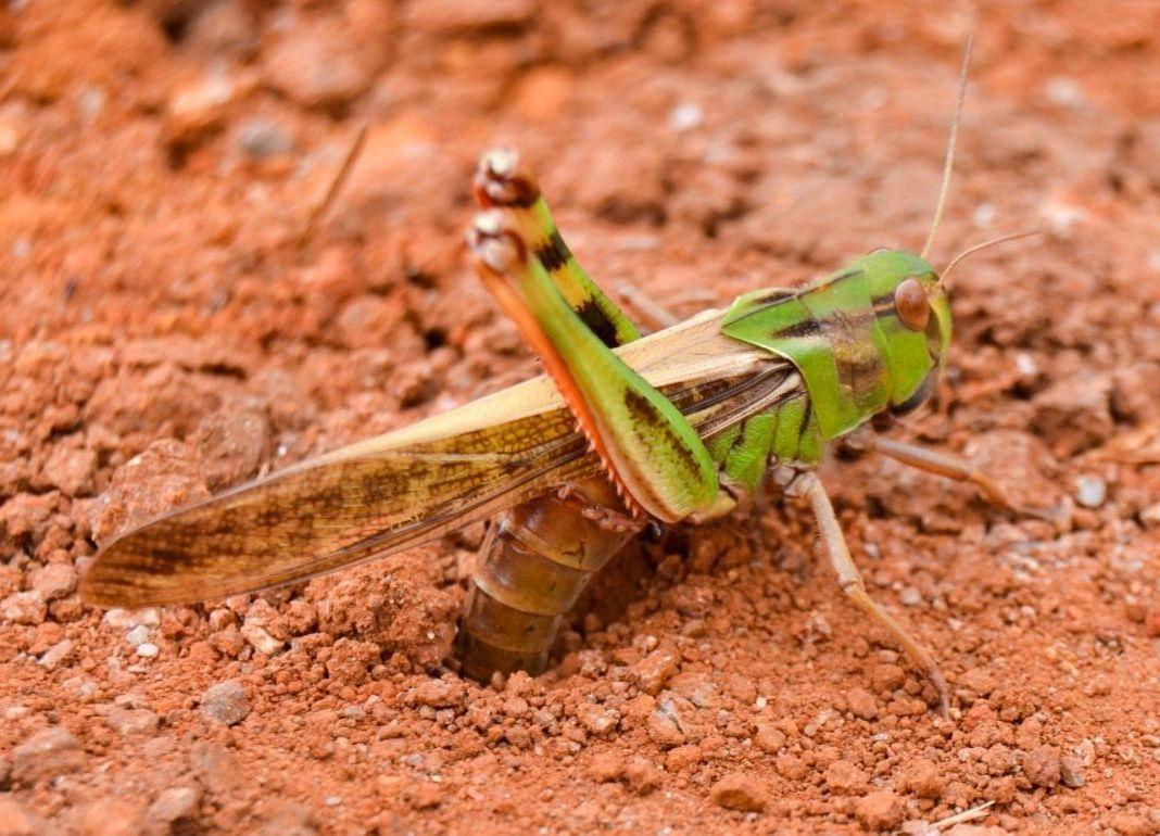 Саранча: как одно насекомое превращается в природное бедствие