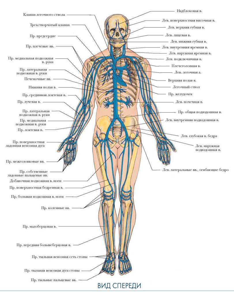Вены: анатомия, функции и заболевания вен