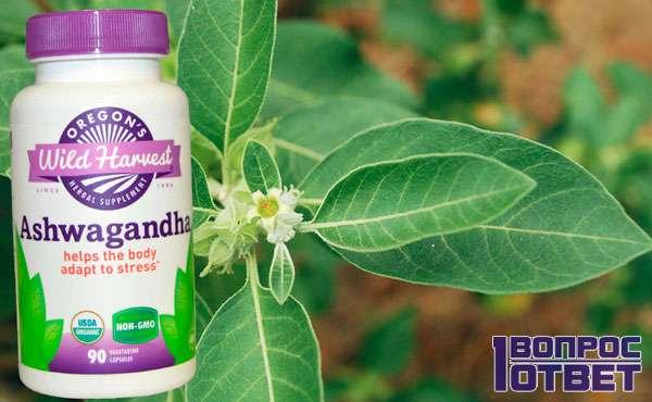 Ашвагандха – одно из самых лекарственных растений в аюрведе