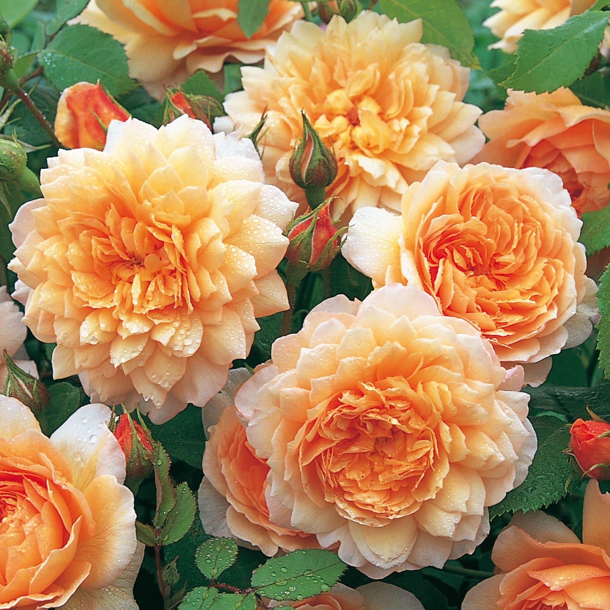 Что такое шрабы розы — описание и отличия от других видов
