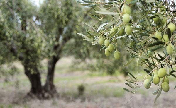Оливки: польза, вред, состав, сорта, рецепты