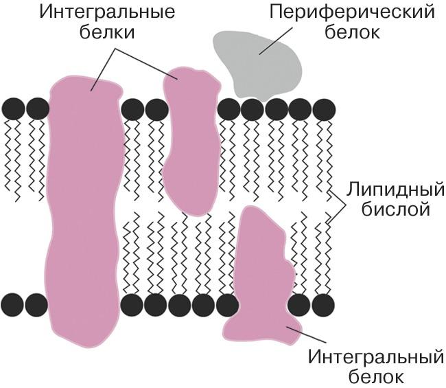 Мембрана строение функция - сайт по биологии
