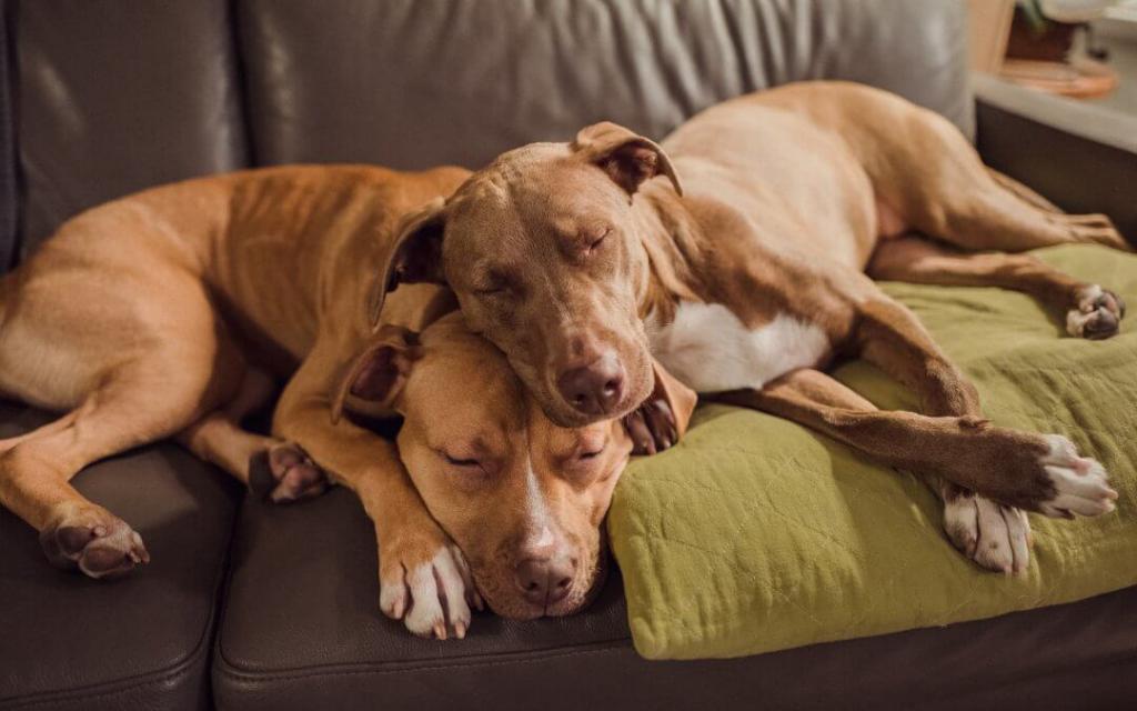 Спаривание собак: что такое вязка, как размножаются питомцы
