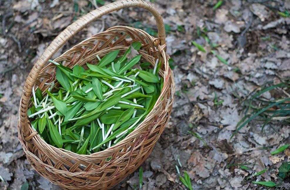 Черемша - полезные свойства и рецепты применения ароматной зелени