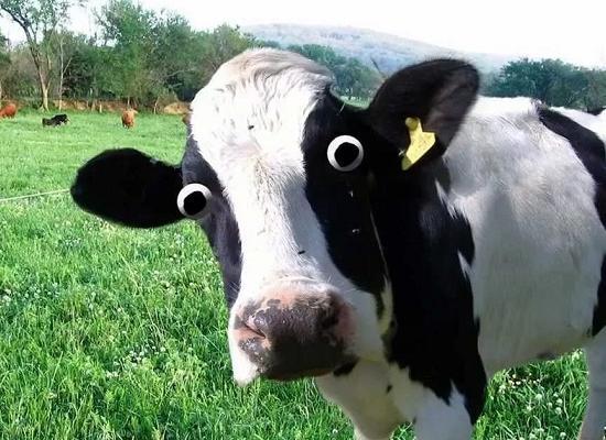 Фуражная корова: что это такое, особенности питания крс