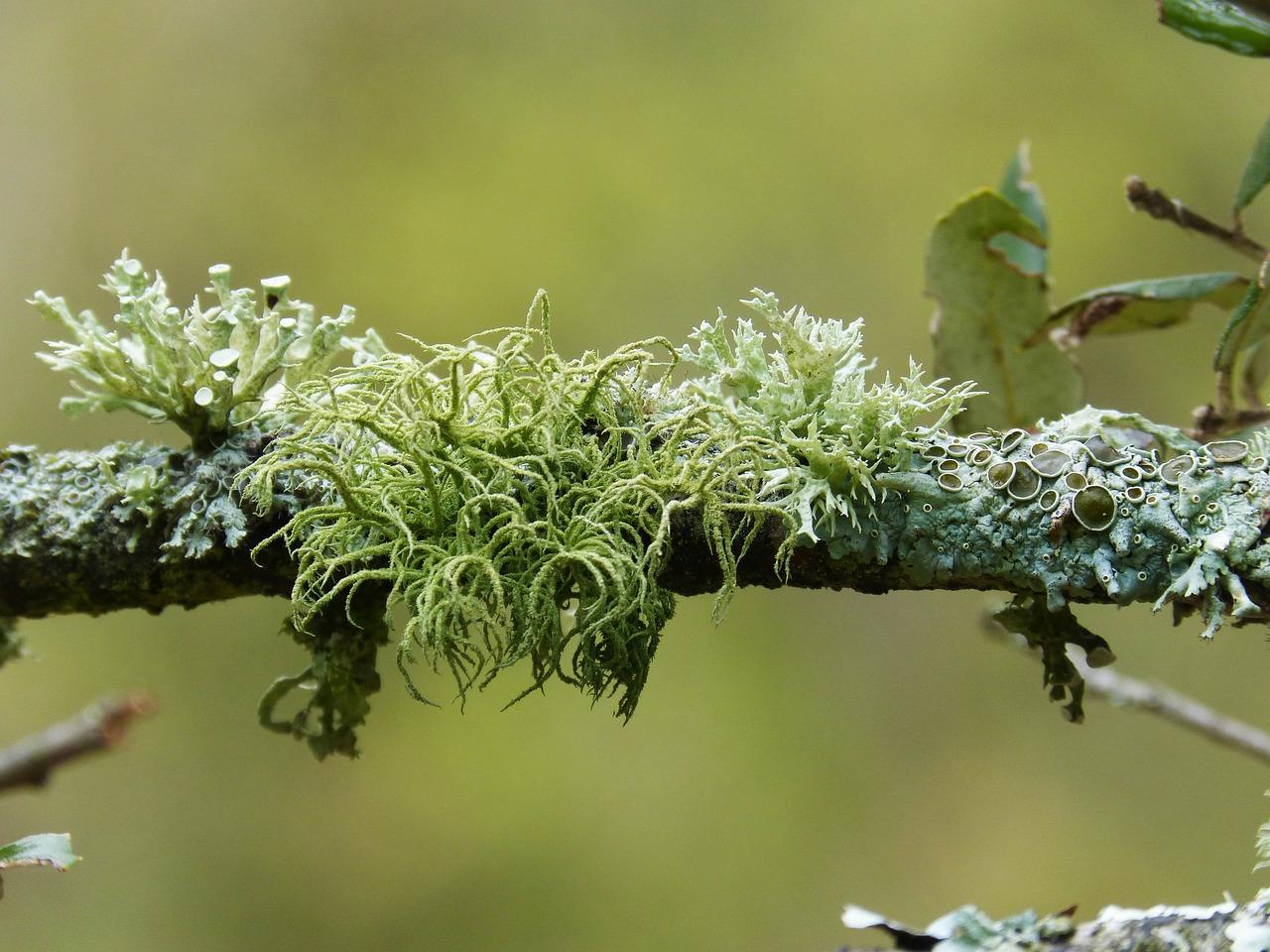 Лишайники: особенности строения, питания и размножения