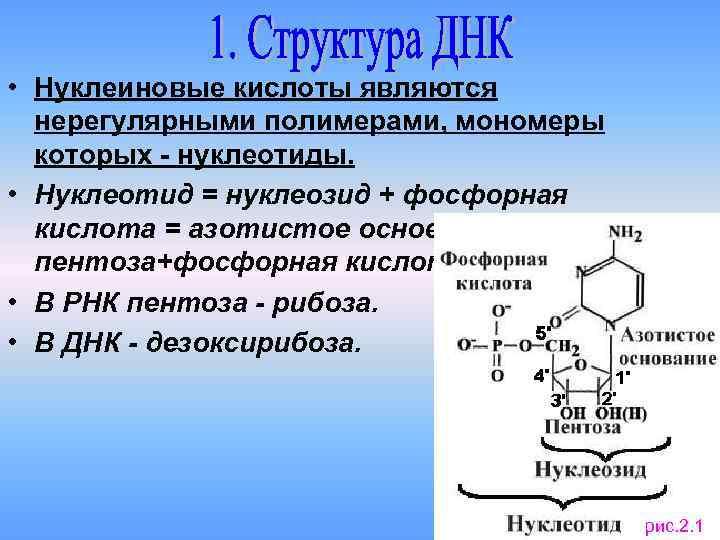 Нуклеиновые кислоты: история исследования, описание :: syl.ru