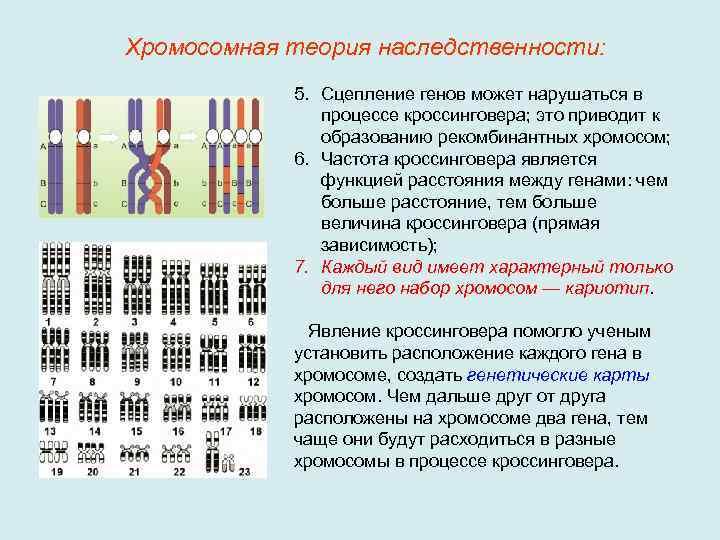 Хромосомный кроссовер - chromosomal crossover