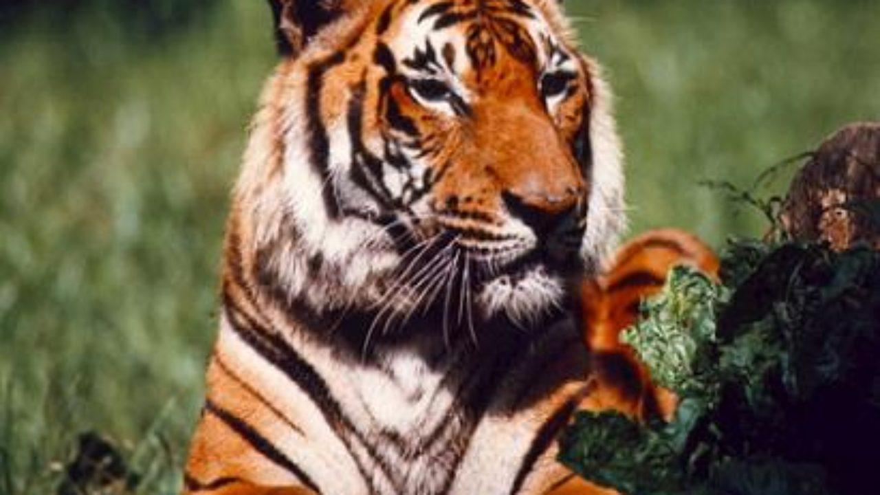 Какие люди рождаются в год тигра: подробное описание