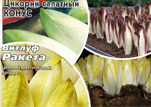 Эндивий (цикорий салатный): описание, применение, фото