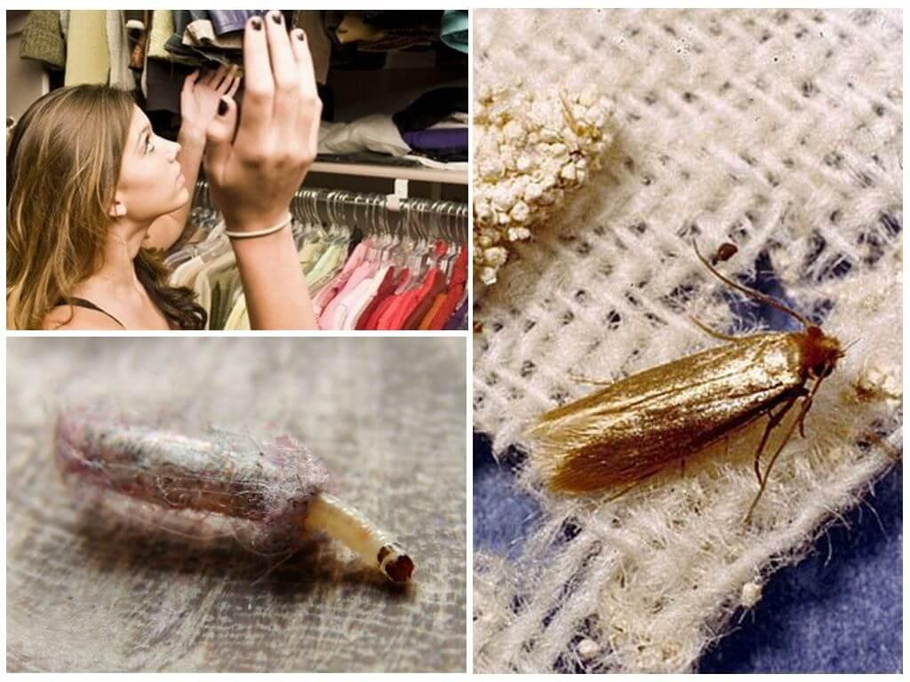 Откуда берется моль, сколько она живет в квартире, как выглядят и чего боятся личинки