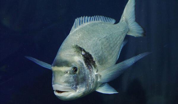 Обыкновенный тунец — википедия. что такое обыкновенный тунец
