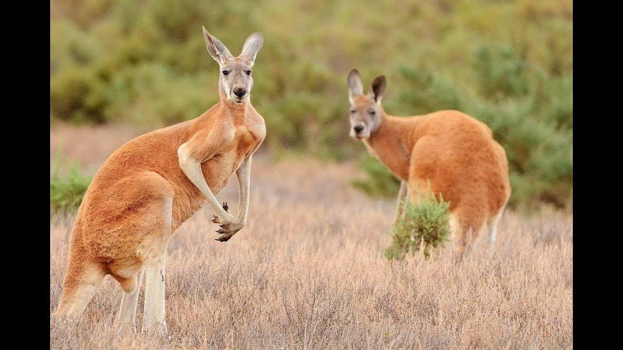 Кенгуру - животное. все виды кенгуру и их образ жизни