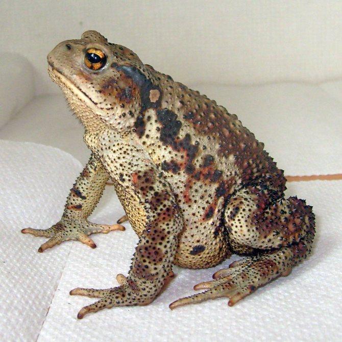 Лягушки - виды и описание, фото с названиями, чем питаются и где обитают