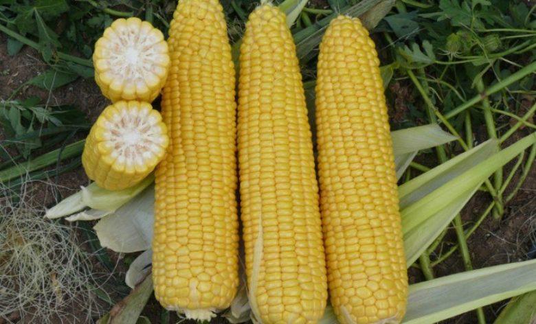 Кукуруза что это? значение слова кукуруза
