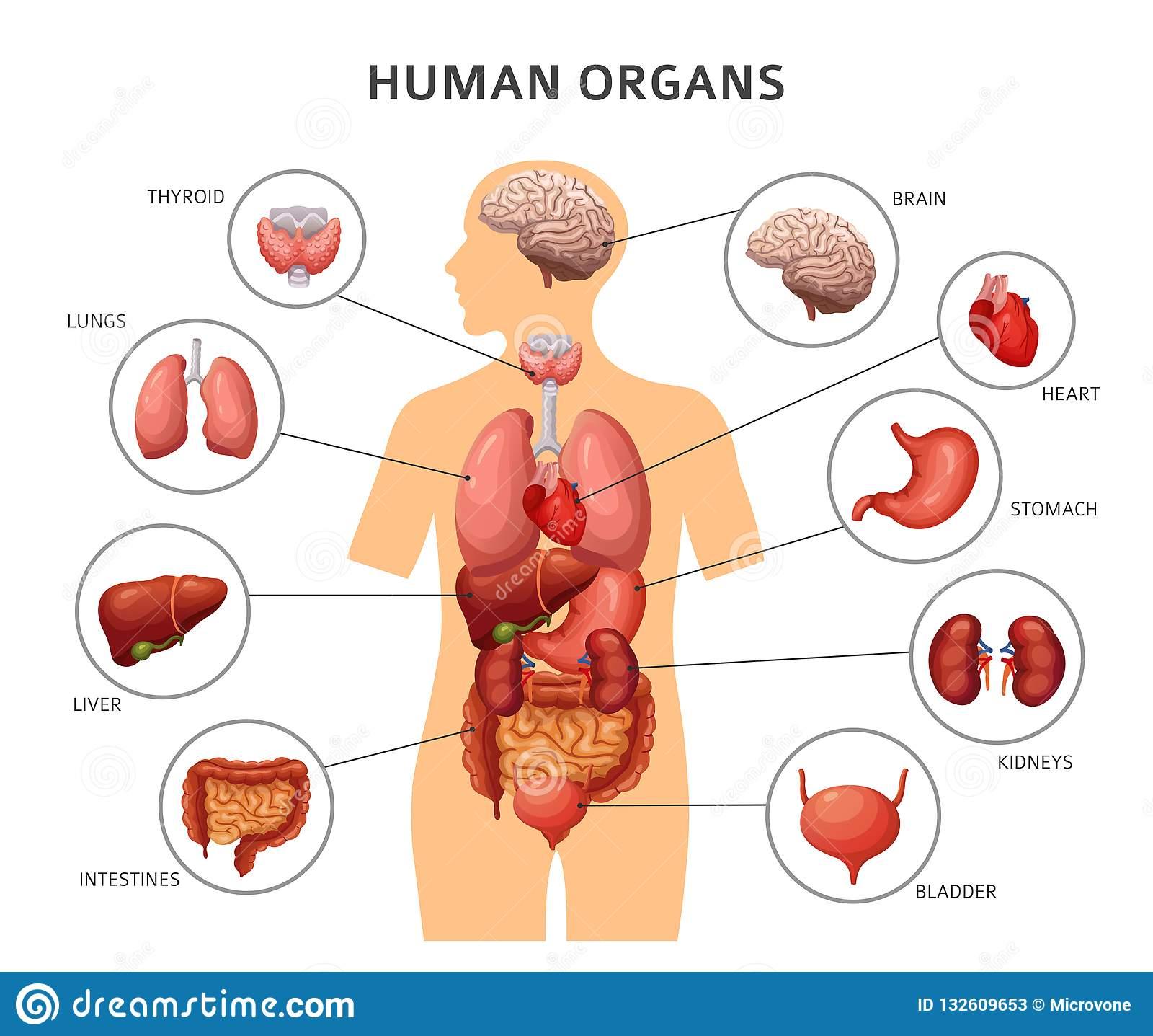 Лёгкие человека: особенности строения и функции